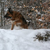 <b>Submitted By:</b> Michelle Redder <b>From:</b>  <b>Description:</b> This is Tito in our back yard last winter.  He's always very watchful and quite protective.