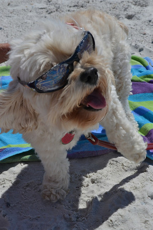 <b>Submitted By:</b> Shannon Haldaman <b>From:</b> Traverse City <b>Description:</b> 'Sunny' (part Miniature Poodle / Shiatsu mix) remains true to her name; she loves her time at the beach almost as much as we do.