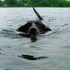 <b>Submitted By:</b> Julie Rapson <b>From:</b> Traverse City  <b>Description:</b> My Dachshund LOVES to jump off our dock on Silver Lake and swim.