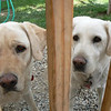 <b>Submitted By:</b> glenn Socia <b>From:</b> interlochen <b>Description:</b> Dogs looking at food in my hand.  It took a bit to find the right angle.