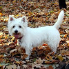 My Pet! Lilly, a Westie, walking the trails at Hickory Hills on November 4, <br /> 2008.<br /> <br /> Photography by Danielle Bielski<br /> Traverse City, MI