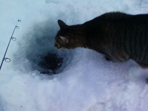 <b>Submitted By:</b> Bill Courtade <b>From:</b> Traverse City <b>Description:</b> My cat Spike came out to see what I wasn't catching. This was taken on Spider Lake.