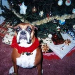 <b>Submitted By:</b> Thomas Baird <b>From:</b> Traverse City <b>Description:</b> Our girl Matty enjoying the Christmas Season, c.2004, at our home in Elmwood Township.