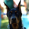 <b>Submitted By:</b> Randal  Hart <b>From:</b> traverse city <b>Description:</b> doberman