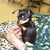 Picture of Zoey Rose (chihuahua) in Aunt Mary's hands (age 100) @ Grayling <br /> Nursing Centre<br /> <br /> Susan Anderson, Traverse City