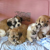 <b>Submitted By:</b> Alan Waisanen <b>From:</b> Traverse City <b>Description:</b> Shih Tzu/Chihuahua mix puppies in Champion, MI durig the 4th weekend.