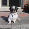 <b>Submitted By:</b> Jerry Miller <b>From:</b> Rochester MI <b>Description:</b> This is Howard.  He is a Shih Tzu rescued from an animal shelter in Pontiac MI.  He is an absolute sweetheart.