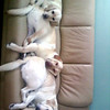 <b>Submitted By:</b> Kailee Stevens <b>From:</b> Alba <b>Description:</b> My 3 yellow labs love to snuggle at naptime.