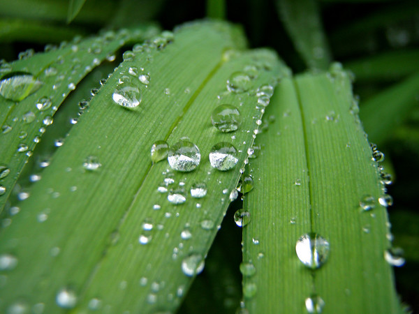 Special to the Record- Eagle/C.J. Zamarrón<br /> Water drops on thick grass. Special to the Record-Eagle/