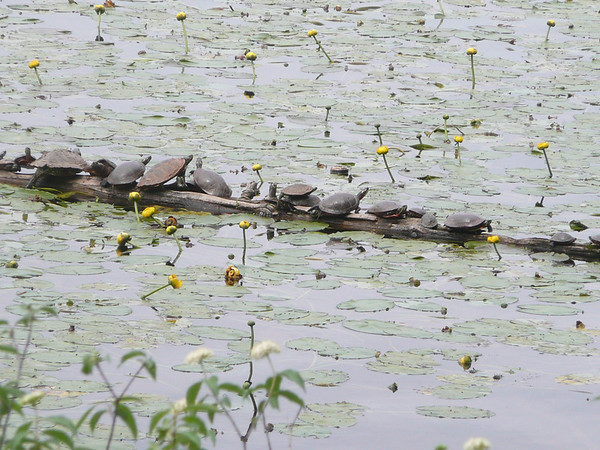 <b>Submitted By:</b> lsloesel <b>From:</b> traverse city <b>Description:</b> turtles on log in Boardman Lake