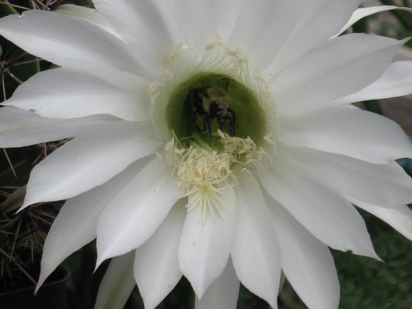 Kristine Hall<br /> Traverse City<br /> Bee in cactus flower. Picture was taken in my Traverse City flower garden.<br /> August 2007