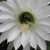 Kristine Hall<br /> Traverse City<br /> Bee in cactus flower. Picture was taken in my Traverse City flower garden.<br /> August 2007