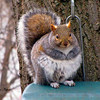 <b>Submitted By:</b> Paul James Nepote <b>From:</b> Traverse City <b>Description:</b> My Old Fat Squirrel Canon PowerShot SX10IS