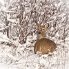 <b>Submitted By:</b> Peggy Sue Zinn <b>From:</b> Traverse City <b>Description:</b> Deer in a swail area