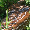 My name is Haley Lillie, and i live in Maple City. This photo of a whitetail <br /> deer fawn was taken in June of 2008, in Maple City.