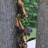 Racoons playing in the Yard<br /> <br /> Photographer's Name: Sherry Good<br /> Photographer's City and State: Interlochen, MI