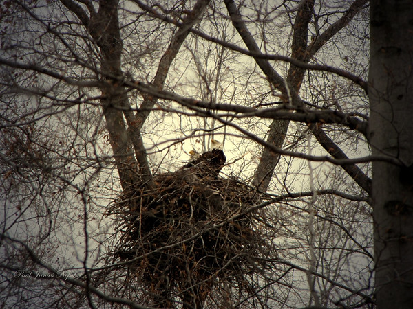 Nesting Eagles<br /> Paul J Nepote<br /> <br /> Traverse City, Michigan <br /> Canon PowerShot SX10IS