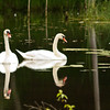 <b>Submitted By:</b> Peggy Zinn <b>From:</b> traverse City <b>Description:</b> Swan pair at Cass River Pond