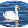 Spring Swan<br /> <br /> Photographer's Name: Pam Murphy<br /> Photographer's City and State: Traverse City, MI
