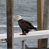 <b>Submitted By:</b> Roberta Benedict <b>From:</b> Grawn <b>Description:</b> Eagle on the dock at the APACHE TROUT GRILL, munching on some fish.