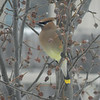 <b>Submitted By:</b> Kelly S. Olman <b>From:</b> Traverse city <b>Description:</b> Cedar waxwing eating all thats left of the winter food berrys on are fruit tree
