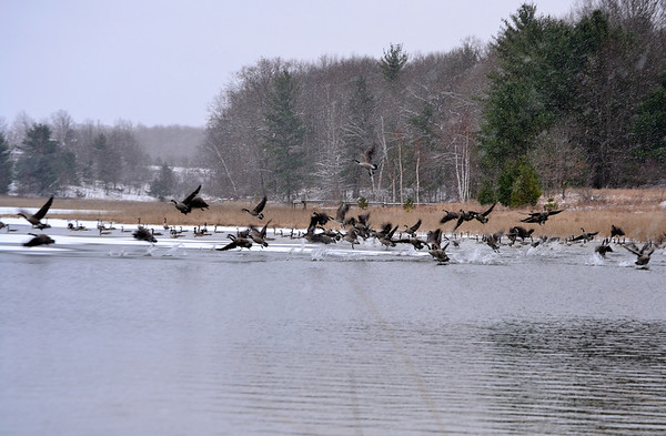 <b>Submitted By:</b> Myongsoon Cho <b>From:</b> Traverse City <b>Description:</b> Canada Geese flight in snowy day. Taken November26,2012 at just south of Traverse City.