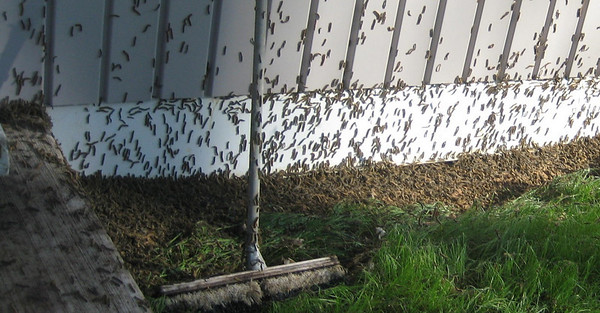 """<b>Submitted By:</b> Michelle  <b>From:</b> Interlochen <b>Description:</b> this is the tent worms 2 days ago at my house just a responce to the """"creepy crawly tree eaters"""""""