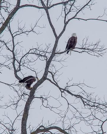 Eagle #2<br /> <br /> Photographer's Name: Peggy Sue  ZINN<br /> Photographer's City and State: Traverse City, MI