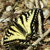 Swallow tail Butterfly<br /> Barbara J. Kuhlman<br /> Interlochen, MI.