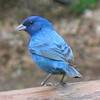 <b>Submitted By:</b> Anthony John DeGroot <b>From:</b> Traverse City <b>Description:</b> Indigo Bunting behind our home in Traverse City