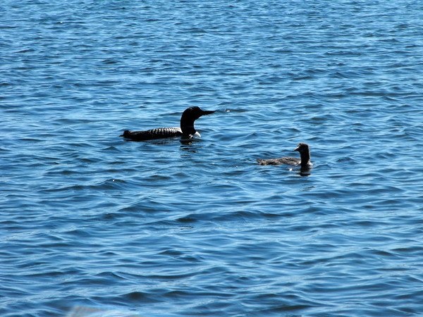 <b>Submitted By:</b> Kristen Frazier <b>From:</b> Clio, MI <b>Description:</b> Loon family out for a swim. Fife Lake, MI June 2010