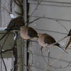 <b>Submitted By:</b> Myongsoon Cho <b>From:</b> Traverse City <b>Description:</b> Morning Doves are enjoying the shelter behind building