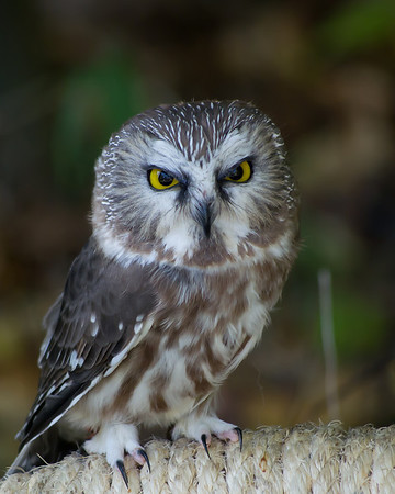 <b>Submitted By:</b> Laurie Lavrack <b>From:</b> Lake Ann <b>Description:</b> Saw-whet Owl at Wings of Wonder raptor sanctuary, Empire