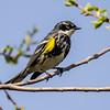 warbler, Photography of Peggy Sue Zinn<br /> <br /> Photographer's Name: Peggy Sue  Zinn<br /> Photographer's City and State: Traverse City, MI