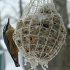 <b>Submitted By:</b> Don Montie <b>From:</b> Northport <b>Description:</b> Yellow bellied nuthatch
