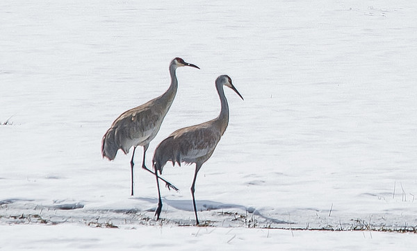 Sand Hill Cranes in Migration<br /> <br /> Photographer's Name: Peggy Sue  ZINN<br /> Photographer's City and State: Traverse City, MI