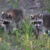 <b>Submitted By:</b> Angela Shinos <b>From:</b> Traverse City <b>Description:</b> Some baby coons crossing the road one morning looking for mama coon!