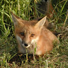 """ Fox close-up"" - This is a later photo of one of the fox babies and shows <br /> an adolescent near his den. Such beauty only 4 miles from our house here in <br /> TC.<br /> <br /> Bill Scott<br /> bshm@charter.net"