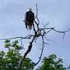 <b>Submitted By:</b> KATHY DINKEL <b>From:</b> SUTTONS BAY <b>Description:</b> THE EAGLE OVERLOOKING SUTTONS BAY EARLY IN THE MORNING