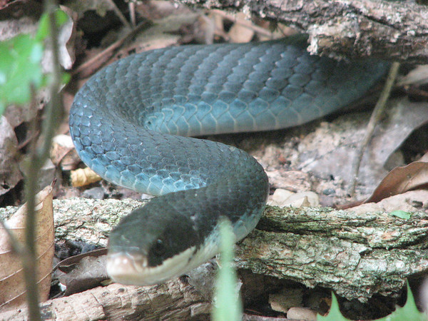 <b>Submitted By:</b> Stewart Allison McFerran <b>From:</b> Lake Ann <b>Description:</b> A Blue Racer snake in Almira Township. About four feet long.