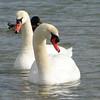 Swans on Grand Traverse Bay<br /> <br /> Bill Simmons<br /> Lake Ann