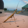Barbara J. Kuhlman<br /> Interlochen<br /> <br /> <br /> Praying Mantis<br /> picture taken in Traverse City