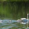 <b>Submitted By:</b> Henry E. Klugh <b>From:</b> Traverse City MI <b>Description:</b> About a mile north of the Cherry Bend Road parking lot on the Leelanau trail is a pond where a couple of swans are raising a brood. A couple of them can't keep up.