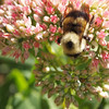 <b>Submitted By:</b> Gwen Rusnell <b>From:</b> Mancelona, MI <b>Description:</b> Busy Bumblebee working hard on a beautiful sunny day!