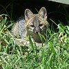 <b>Submitted By:</b> kevin wickstrom <b>From:</b> traverse city <b>Description:</b> a baby grey fox livind under a storage shed