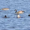 Canadian geese on Tobacco River in Clare Michigan<br /> <br /> Coleen Sander<br /> Mancelona, Mi.