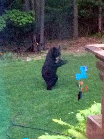 <b>Submitted By:</b> Judy P. Roth <b>From:</b> Williamsburg <b>Description:</b> Bear in our back yard (Springbrook Hills Subdivision) Sunday evening, June 3, about 9 p.m. He was enjoying the suet from our bird feeder. We were able to observe him for 15 minutes before he walked back into the woods.
