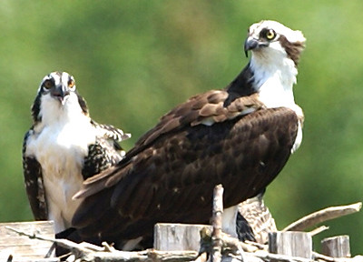 The Osprey is a very able hunter. It often dives under water to catch a <br /> spotted fish.<br /> <br /> John Novosad<br /> Houghton Lake