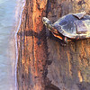 Picture of a painted turtle sunning himself at the sabin dam. Taken by Jared <br /> LaChatite from Traverse City on 3-18-09.