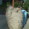 <b>Submitted By:</b> Larry E Miller <b>From:</b> Traverse City MI <b>Description:</b> A large bee's nest taken from my attic.
